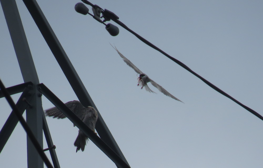 peregrine mobbed by tern